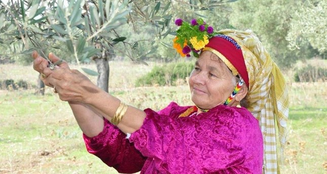 A local woman picks olives in Milas as a part of the town's harvest festivities last year. (DHA Photo)