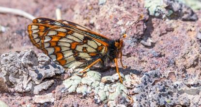 Endangered butterfly spotted in eastern Turkey