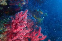 Red corals, Edremit's hidden treasures, to be protected