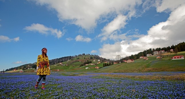 Rare blue dahlias blossoms in Turkey's Black Sea plateau