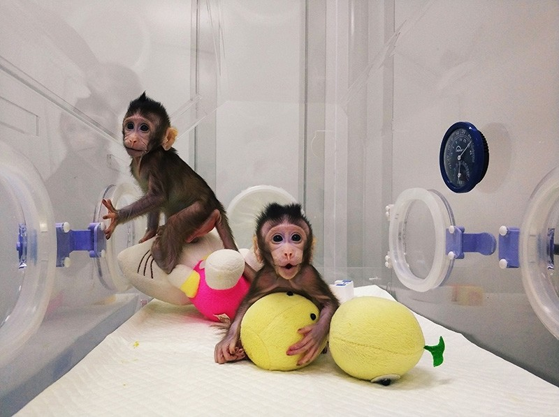 This handout picture from the Chinese Academy of Sciences Institute of Neuroscience, taken on January 20 and released on January 24, 2018 shows monkey clones ,Zhong Zhong, (L) and ,Hua Hua, at a research institution in Suzhou (AFP Photo)