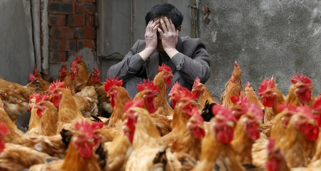 A breeder covers his face as he sits behind his chickens, which according to the breeder are not infected with the H7N9 virus, in Yuxin township, Zhejiang, on April 11, 2013. (REUTERS Photo)