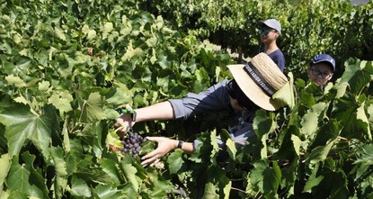 All the way from China, tourists come to join grape harvest in Turkey's Isparta
