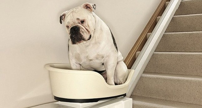 Chunky the bulldog is pictured in the world's first stair lift for overweight dogs (File Photo)