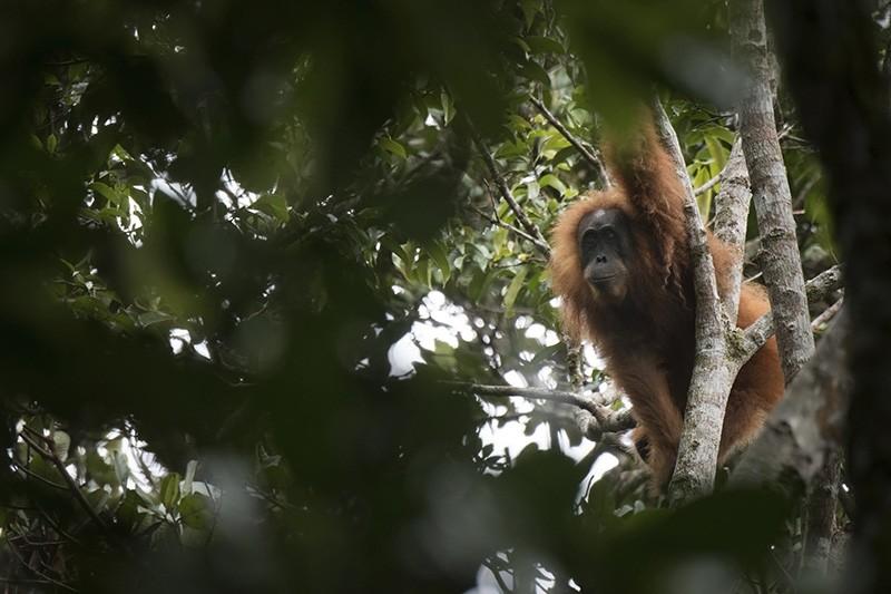 This undated photo released by the Sumatran Orangutan Conservation Programme shows a Tapanuli orangutan in Batang Toru Ecosystem in Tapanuli, North Sumatra, Indonesia. (AP Photo)