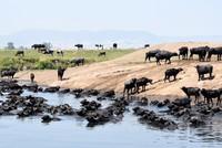 Balıkesir's water buffaloes bring the African savanna feeling
