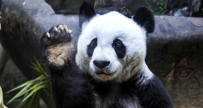 pThe world's oldest captive giant panda has died at the ripe old age of 37 -- more than 100 in human years -- her handlers in China said on Thursday as they gave Basi an emotional...