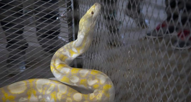 Turkish border patrol agents seized smuggled reptiles, including rare pythons at the border with Bulgaria. ( AA Photo)
