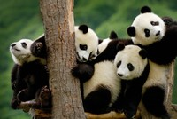 Have you ever wondered why pandas have such distinct patches? A group of scientists are pursuing this question and have published a study in the journal Behavioral Ecology, showing that the...