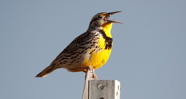 This April 14, 2019 file photo shows a western meadowlark in the Rocky Mountain Arsenal National Wildlife Refuge in Commerce City, Colo. AP Photo