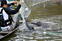 Mercury pollution threatens Amazon River dolphins