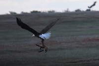 Bald eagle swoops in on fox's rabbit lunch