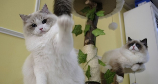 Persian cats, just two of the many owned by Taiwanese cat breeder Chang Chin-yi, pose for a photo at her home in New Taipei City on Feb. 19, 2019 (AFP Photo)