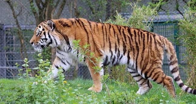 Tiger verletzt Mitarbeiter im Tierpark Köthen schwer