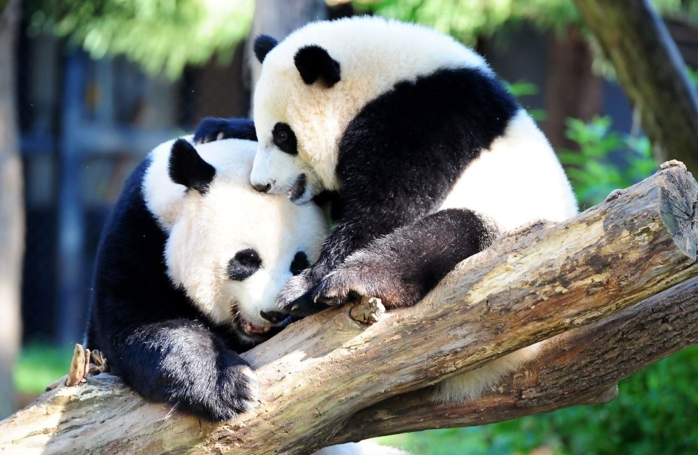 Giant panda Mei Xiang and her cub Bei Bei (R) play in their enclosure at the National Zoo in Washington. (AFP Photo)