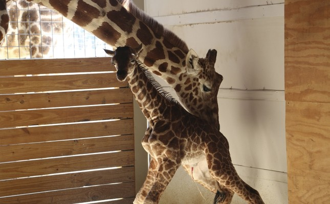 April helps her newly born unamed baby giraffe stand at the Animal Adventure Park, in Harpursville on April 15.
