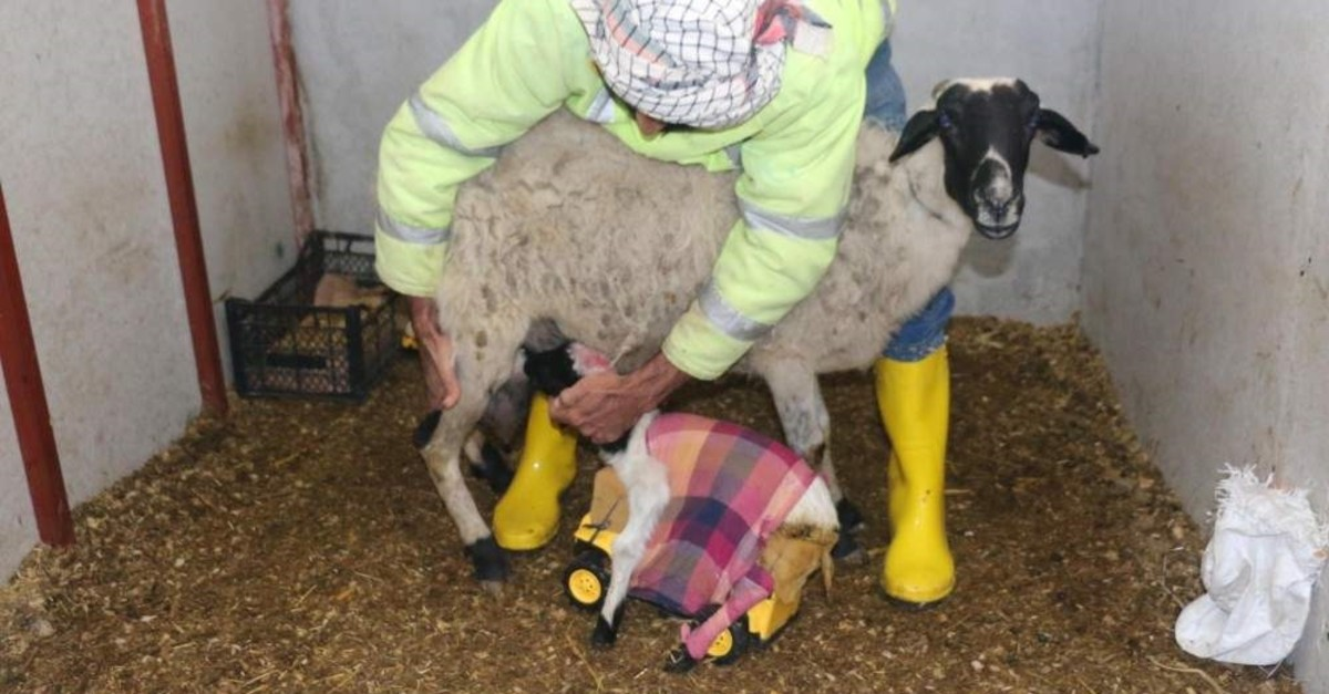 Kaya says the truck helps the lamb stand upright and feed properly. (DHA Photo)