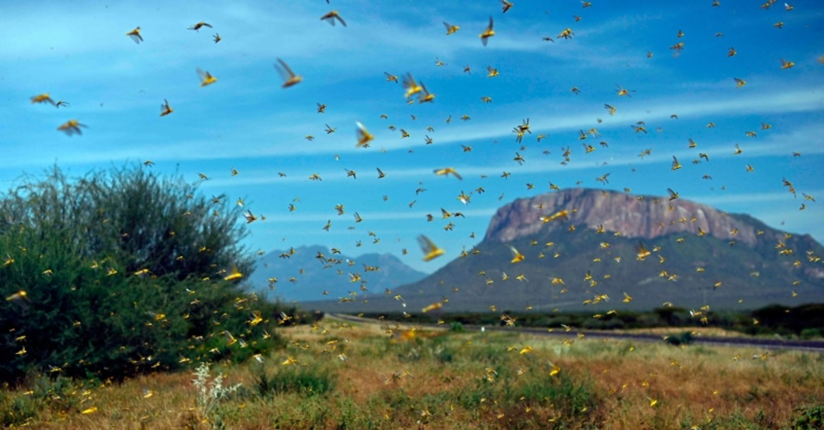 Swarms of desert locusts fly up into the air near Archers Post, Kenya, Jan. 22, 2020. (AFP Photo)