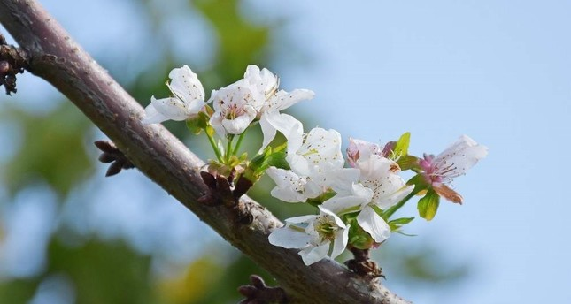 Blossoming cherry trees in Manisa shock producers and locals. AA Photo