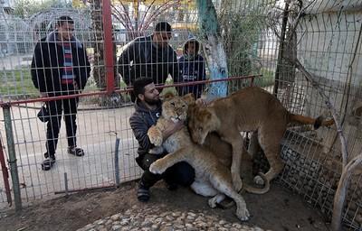 Palestinian man plays with three lion cubs at Gaza Strip zoo, Jan. 18, 2019.