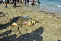 Rehabilitated turtle back to sea 4 years later