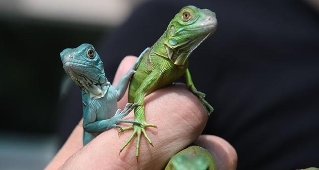 Iguana hatches 16 offspring at Bursa Zoo in northwest Turkey