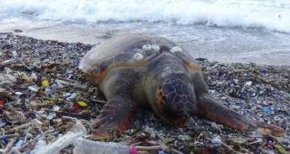 Loggerhead turtle found dead on Turkey's Marmara coast