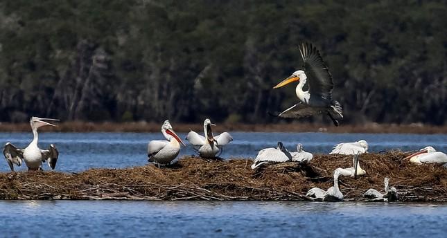Albania's pelicans return to their lagoon kingdom