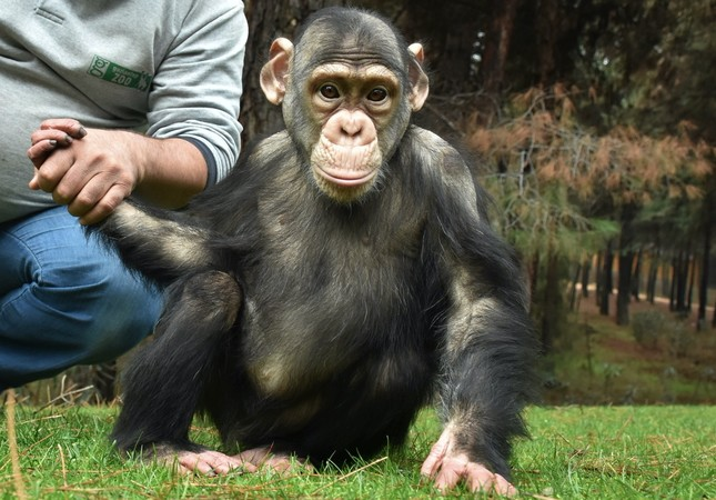 Can the Chimp holds his caretaker's hand at Gaziantep Zoo, Jan.25, 2019.