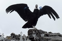 Andean condors under threat as their habitat shrink due to human activities