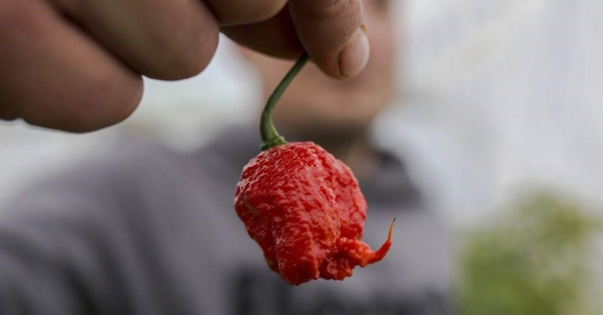 The young farmer Aleksandar Tanic shows the hottest pepper in Serbia on Dec. 3, 2019, which he produces in the southern Serbian town of Niska Banja. (AFP Photo)