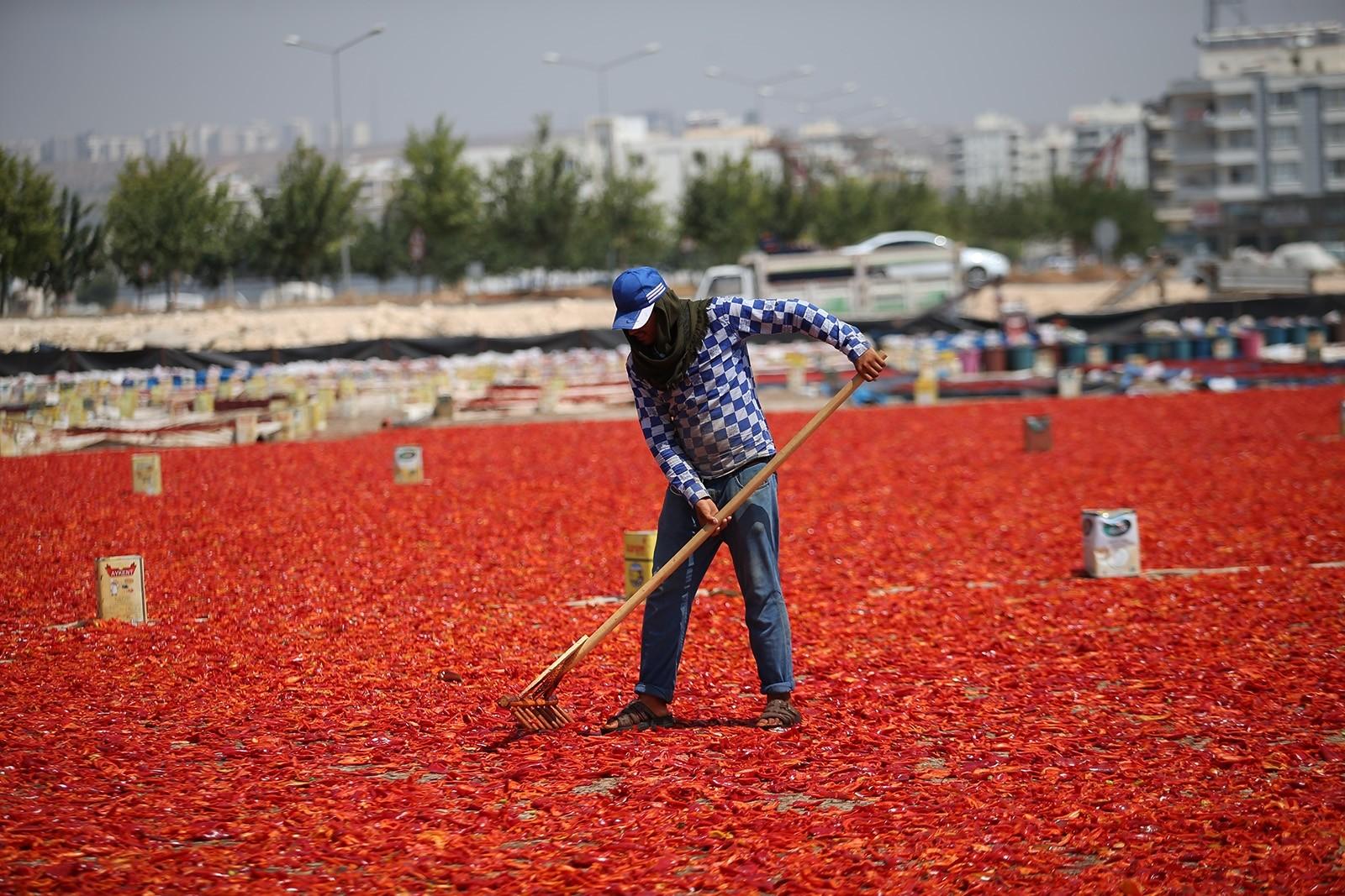 Women harvest, dry hot red peppers under scorching Şanlıurfa sun to make signature Turkish spice