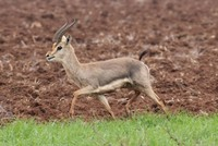 Mountain gazelle population growing daily in southern Turkey's Hatay