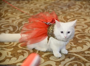 Feline aficionados flock to Ankara for Cat Beauty Festival