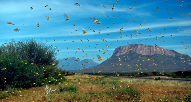 Swarms of desert locusts fly up into the air near Archers Post, Kenya, Jan. 22, 2020. AFP Photo