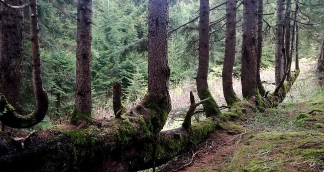 Decaying 300-year-old tree sprouts 17 saplings