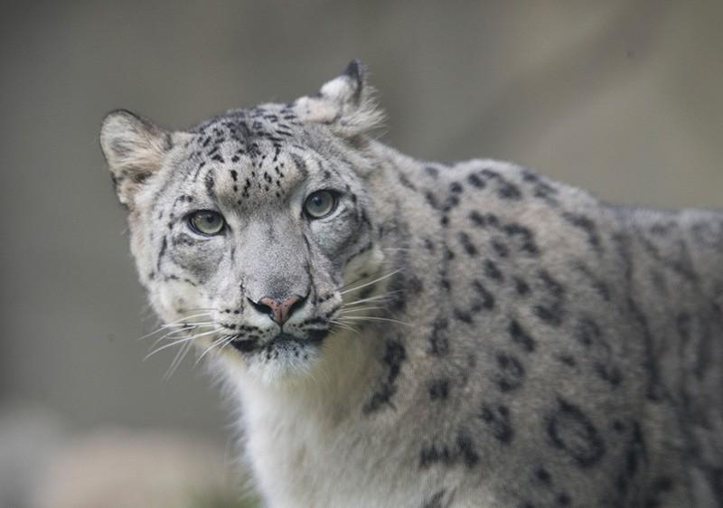 The snow leopard (AFP Photo)