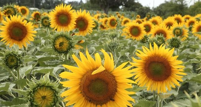 العروس الصفراء تُزين الحقول بتركيا