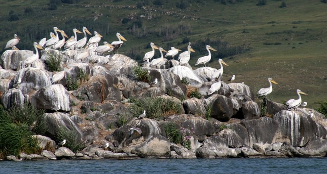 Pelicans offer exceptional sight on northeastern border
