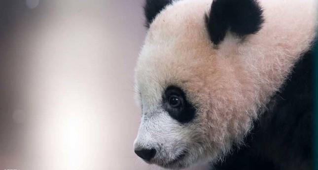 الصين تخصص مليارا ونصف مليار دولار لإقامة متنزه للباندا العملاقة