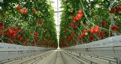 Квота на поставки турецких томатов в РФ повышена вдвое