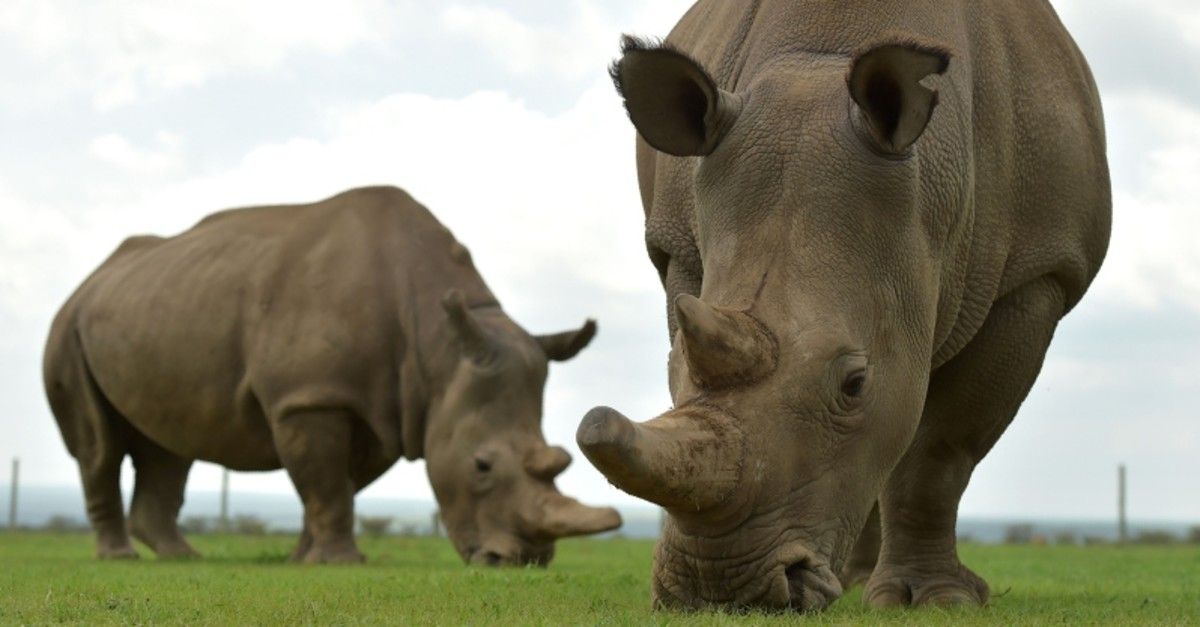 In this file photo taken on March 20, 2018 Najin (L) and Fatu, the only two remaining female northern white rhinos graze in their paddock at the ol-Pejeta conservancy in Nanyuki, north of capital Nairobi. (AFP Photo)