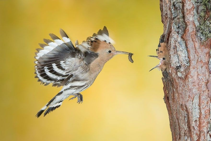 The Beakful Of The Hoopoe, Italy - Honorable Mention, Animals In Their Environment