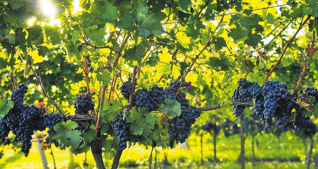 Your guide to Turkey's best grape harvest routes