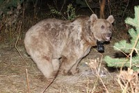Scientists find first 'nomad' grizzly bears in eastern Turkey