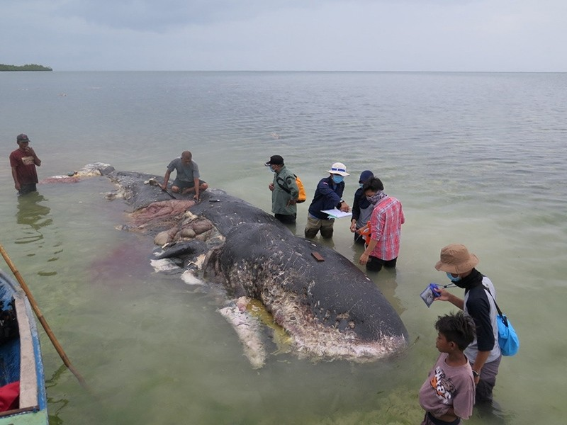 A stranded whale with plastic in his belly is seen in Wakatobi, Southeast Sulawesi, Indonesia, Nov. 19, 2018 in this picture obtained from social media. (Kartika Sumolang via Reuters)