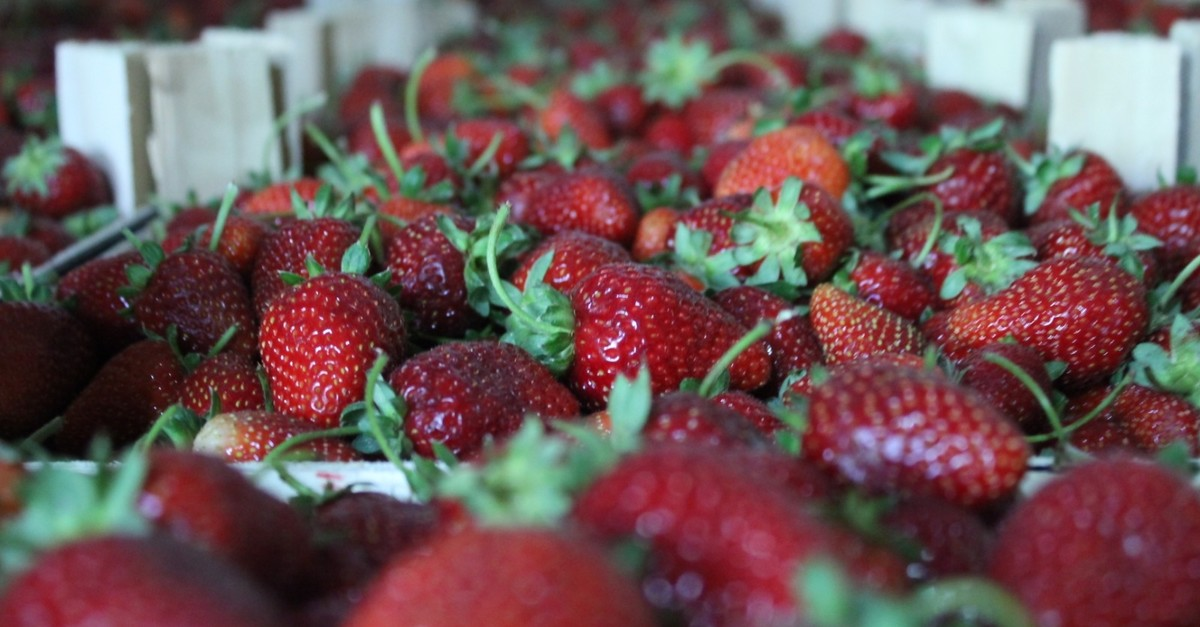 30,000 tons of strawberries are annually being produced in Bursau2019s u0130negu00f6l district, 20% of which are exported.