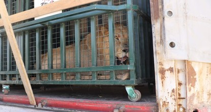 pAlready tackling the humanitarian aspect of the Syrian crisis that has displaced millions and killed thousands of people, Turkey is now turning to zoo animals in danger amid the ongoing...
