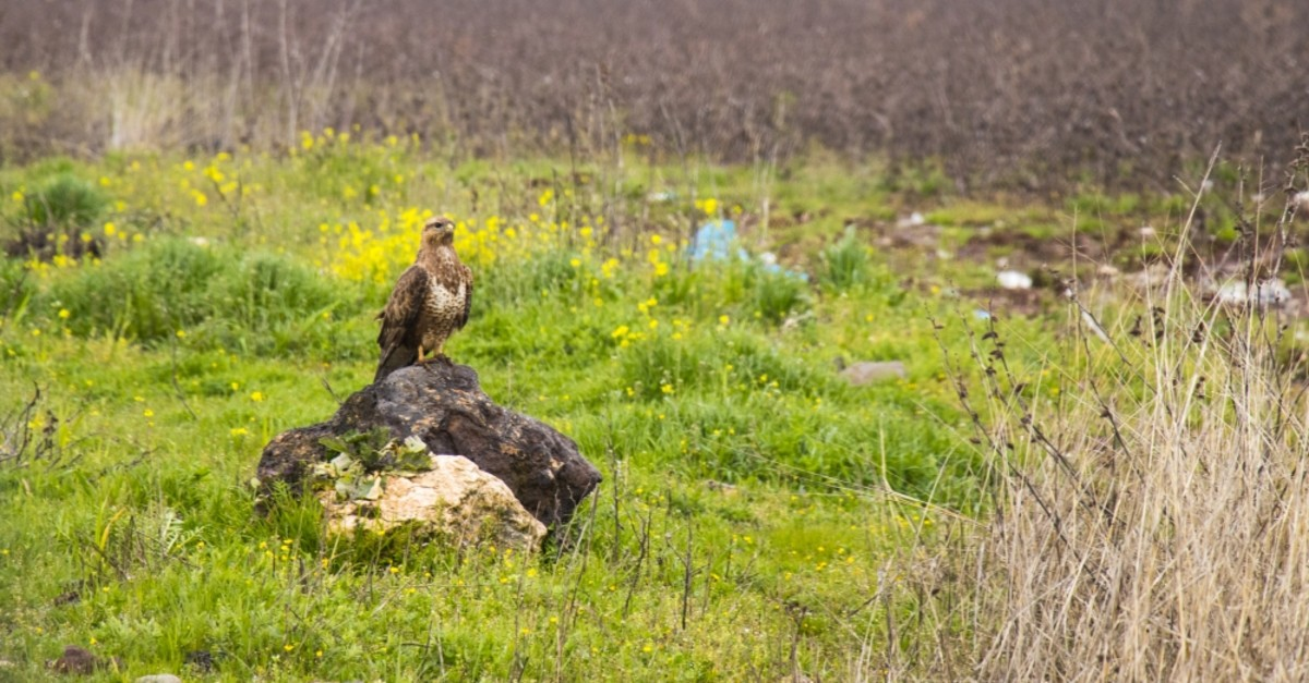 A hawk perched on a rock on the roadside in Diyarbaku0131r, April 5, 2019.