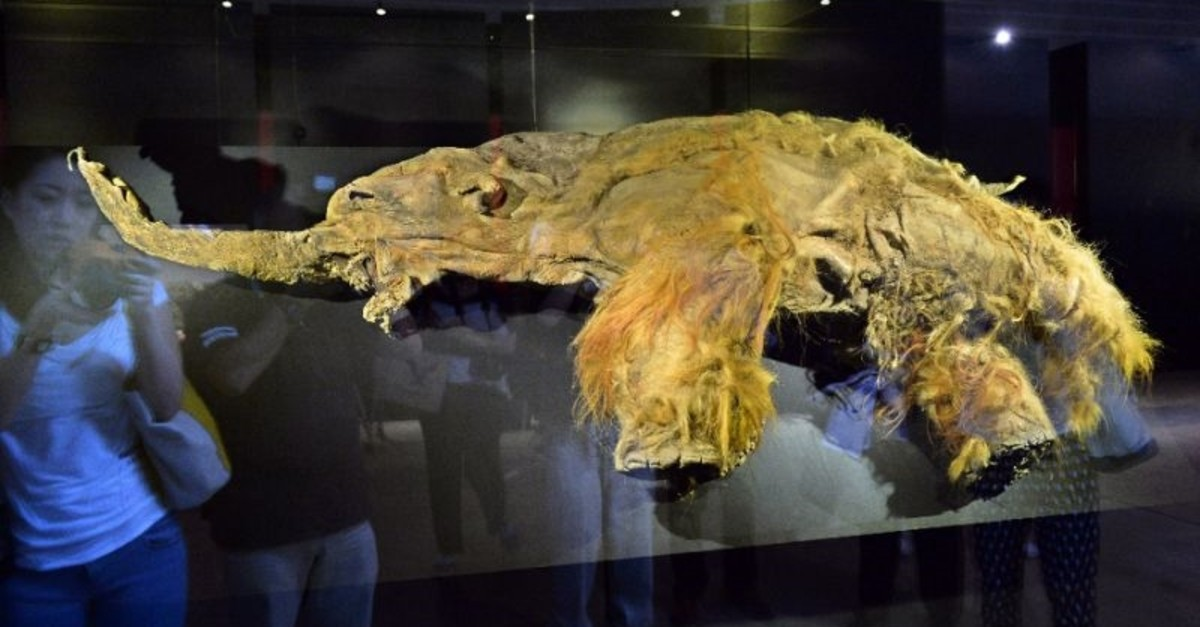 The frozen carcass of a female mammoth on display in Yokohama a few years ago. (AFP Photo)